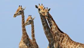 长颈鹿旅途朝向有生动的蓝色背景 免版税库存照片