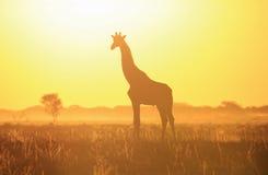 长颈鹿日落剪影和黄色轻的野生生物背景和秀丽从非洲的wilds。 免版税库存照片