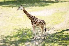 长颈鹿是非洲人均匀用脚尖踢的蹄状哺乳动物类  免版税库存照片
