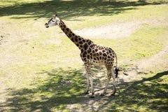 长颈鹿是非洲人均匀用脚尖踢的蹄状哺乳动物类  库存照片