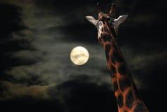 长颈鹿月亮凝视 免版税库存照片