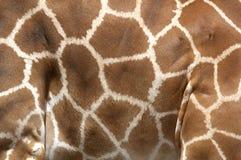 长颈鹿标号rothchilds 库存照片