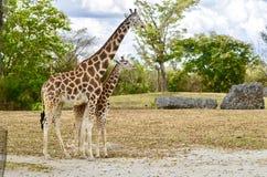 长颈鹿母亲和她的小牛 库存照片
