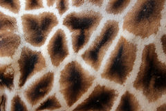 长颈鹿毛皮 库存图片
