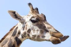 长颈鹿照片纵向 库存照片