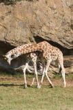 长颈鹿爱 免版税图库摄影