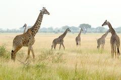 长颈鹿牧群在坦桑尼亚 免版税库存照片