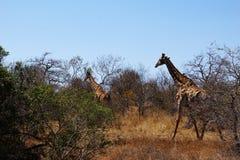 长颈鹿牧群在非洲灌木的 库存照片