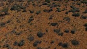 长颈鹿牧群横跨大草原跑 股票录像