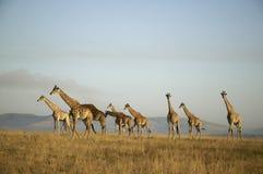 长颈鹿牧群 免版税库存照片