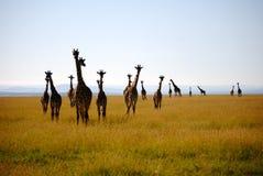 长颈鹿牧群  免版税库存图片