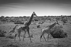 长颈鹿牧群 图库摄影