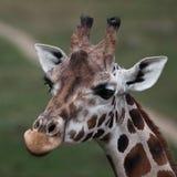 长颈鹿特写镜头纵向  免版税库存图片
