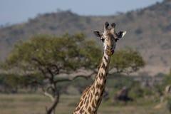 长颈鹿特写镜头在非洲` s塞伦盖蒂的 库存图片