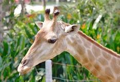 长颈鹿特写镜头 免版税库存图片