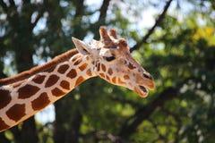 头长颈鹿特写镜头  免版税库存照片