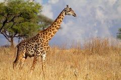 长颈鹿男性马塞人serengeti坦桑尼亚 免版税库存图片