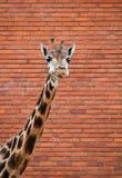长颈鹿画象在红砖墙壁的 免版税图库摄影