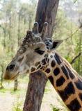 长颈鹿画象在非洲野生生物保护或在动物园里 库存照片