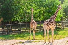 长颈鹿画象看脖子和头在绿色叶子背景的对 库存图片