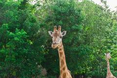 长颈鹿画象看脖子和头在绿色叶子背景的对 免版税图库摄影
