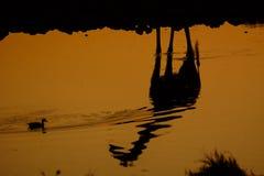 长颈鹿的反射和剪影 免版税库存图片