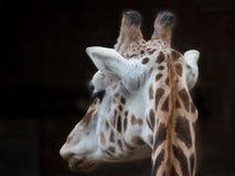长颈鹿的特写镜头 免版税库存图片