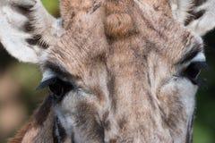 长颈鹿的特写镜头 库存图片