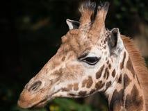 长颈鹿的特写镜头 免版税库存照片