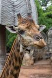 长颈鹿的特写镜头面孔在动物园里 免版税图库摄影