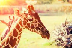 长颈鹿的画象 库存照片