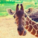 长颈鹿的画象 免版税库存图片