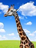 长颈鹿的纵向 库存照片