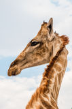 长颈鹿的纵向 免版税库存照片