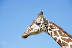 长颈鹿的纵向 图库摄影