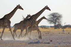 长颈鹿的赛跑 免版税图库摄影