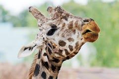 长颈鹿的题头 库存照片