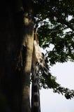 长颈鹿的题头 库存图片