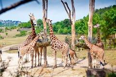 长颈鹿的饲养时间 免版税库存图片