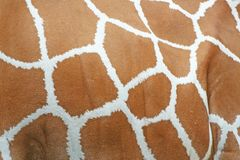 长颈鹿皮肤样式纹理背景 免版税库存照片