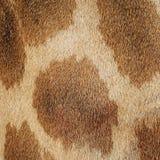 长颈鹿皮肤 免版税库存照片