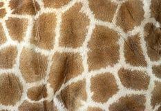 长颈鹿皮肤 库存图片