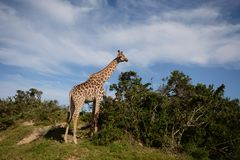 长颈鹿看树 免版税库存图片