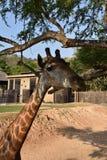 长颈鹿立场 免版税图库摄影