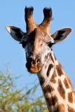 长颈鹿纵向特写镜头。 徒步旅行队在Serengeti,坦桑尼亚,非洲 库存图片