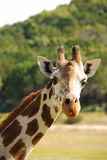 长颈鹿纵向 图库摄影