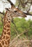 长颈鹿纵向 免版税库存照片