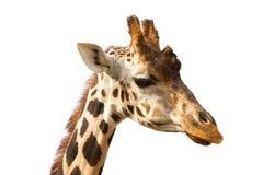 长颈鹿纵向 免版税图库摄影