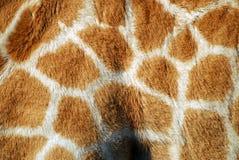 长颈鹿纹理 库存图片