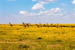 长颈鹿群纠正面对一个小组在大草原的狮子 库存照片